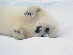 baby seal on side
