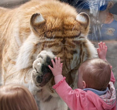 baby and tiger 2