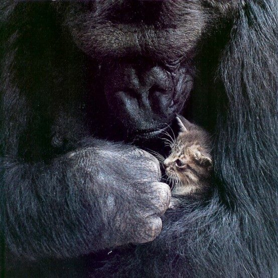kitten and gorilla